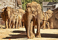 Elephants stampede through the middle of the village as they run towards the river for their daily bath. (Photo by Matt Considine - Images of Asia Collection)