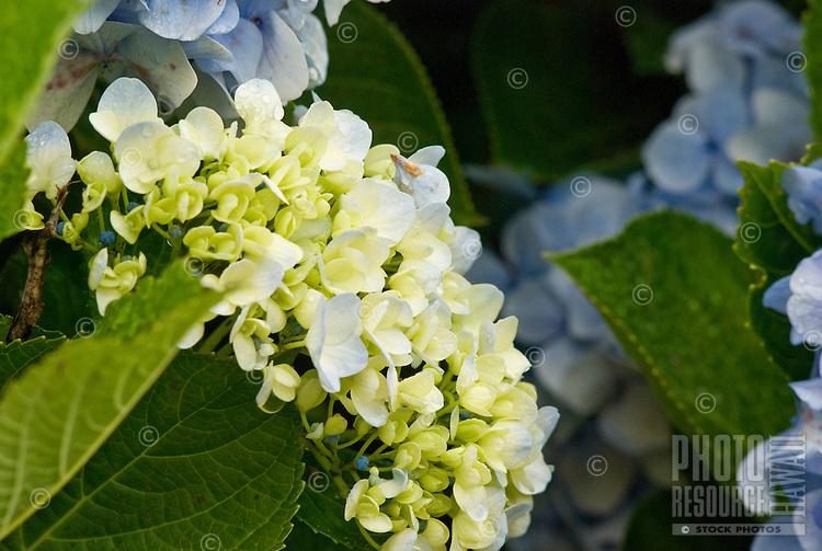 Hydrangea thrives at Alii Kula Lavender farm and gardens at the base of Haleakala, Kula