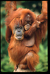 Mother Orangutan and baby.