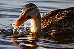 Duck Splashing in the Lake