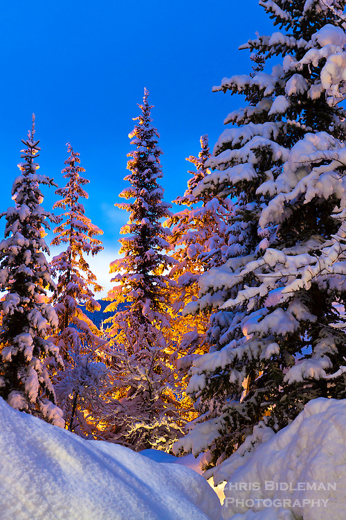 Snow covered evergreen trees in the Coastal Mountains (Fitzsimmons Range) of British Columbia are glowing from street lights as the blue light of dawn provides great background