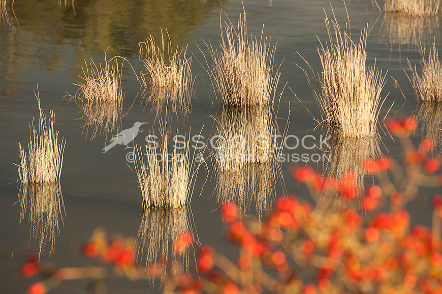 Nature detail image, reeds & red rosehip berries - Lake Pukaki NZ