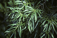 Willow Podocarp Podocarpus salignus (Podocarpaceae) (Height to 20m) Sometimes grows as a multi-stemmed bush, but can form a larger tree on a stronger bole with dark orange-brown bark which peels off in strips from mature specimens. Leaves are willow-like, up to 12cm long, with a leathery appearance but a softer, more pliable texture. A native of Chile that yields useful building timber.