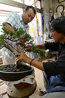 A student at a bonsai class in the Tojuen bonsai nursery. With teacher, Kouichi Sato. Bonsai-mura, Omiya, Saitama Prefecture, Japan, June 25, 2013. The Omiya Bonsai Village was founded in 1925 and is Japan's most famous production center for bonsai.