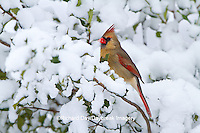 01530-20901 Northern Cardinal (Cardinalis cardinalis) female in American Holly (Ilex opaca) in winter, Marion Co., IL