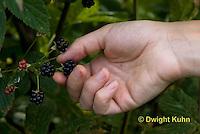 HS18-527z Blackberry, Rubus spp.