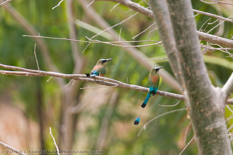Turquoise-browed Motmot, Pacific Dry Forest Costa Rica, Central America.