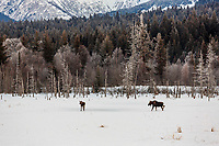 Winter landscape of two moose walking in meadow with the Chugach Mountains in the background near Girdwood  in Southcentral, Alaska.  <br /> <br /> <br /> <br /> Photo by Jeff Schultz/SchultzPhoto.com  (C) 2017  ALL RIGHTS RESVERVED