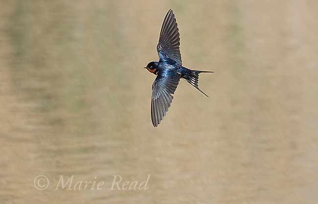 Barn Swallow (Hirundo rustica) adult in flight over water, Bear River Migratory Bird Refuge, Utah, USA