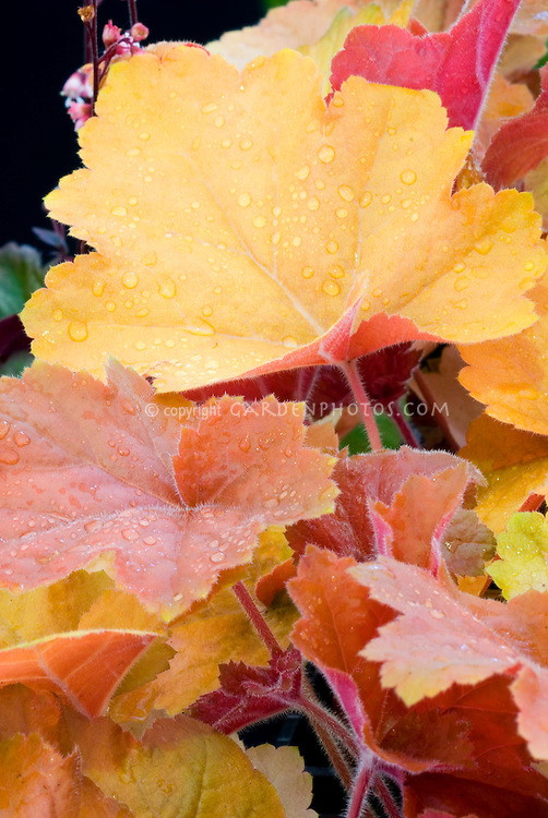 Heuchera 'Southern Comfort' perennial closeup of foliage leaves