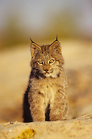 Lynx or Canadian Lynx (Lynx canadensis) kitten