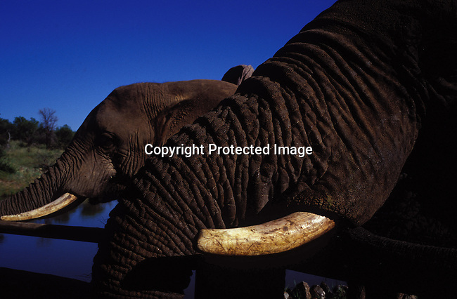diwlele00005.Wildlife. Elephants. Pilansberg Elephant Back-Safaris in Pilansberg, a game park outside Sun City South Africa. The elephants and handlers come from Zimbabwe, and it has become a popular tourist attraction in the area. .©Per-Anders Pettersson/iAfrika Photos.