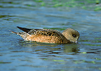 American Wigeon Anas americana. Each autumn, a scattering of genuinely wild ducks from North America arrive here, blown in by Atlantic gales. Typically they associate with their most similar European counterparts. American Wigeon Anas americana (L 48-55cm) is similar to Wigeon but males have a green eyestripe, creamy white forehead and crown, and speckled grey face.