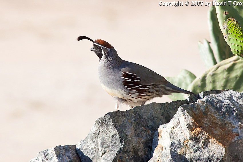 Gambels Quail, Arizona, USA