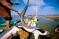 Gill net fishermen pull pelagic thresher sharks, Alopias pelagicus. off fishing boat onto shore, Huatabampo, Mexico, Sea of Cortez, Pacific Ocean