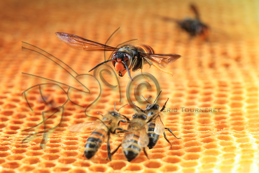 A hornet attacking the bees.///Attaque d'un frelon sur les abeilles.