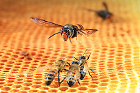 A hornet attacking the bees.///Attaque d'un frelon sur les abeilles.
