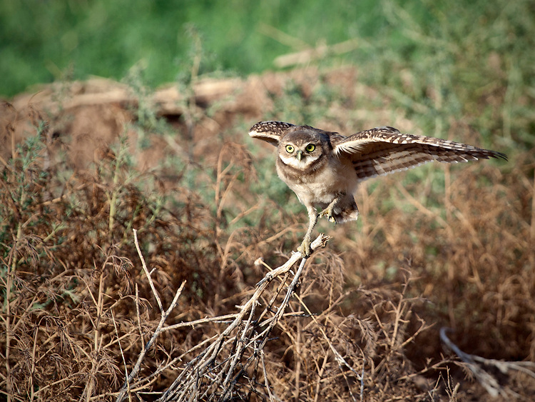 Burrowing owl (Athene cunicularia) steadying itself on a branch after landing