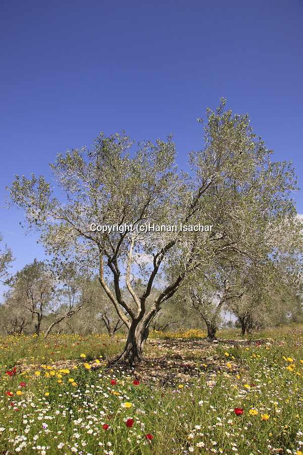 Israel, Lower Galilee, Olive trees by Zippori forests Scenic road