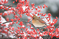 01530-176.18 Northern Cardinal (Cardinalis cardinalis) female in Common Winterberry (Ilex verticillata) in snowstorm, Marion Co. IL