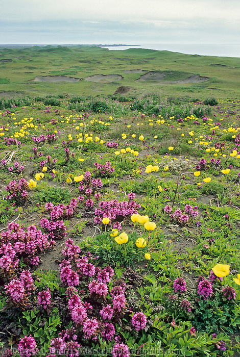 Alaska poppies and lousewort on the tundra of St. Paul Island of the Pribilof Islands, Bering Sea, Alaska