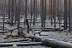 Forest after fire in Yellowstone NP.