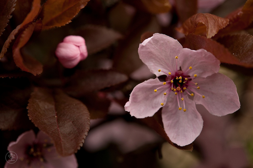 Detail of an ornamental flowering cherry plum (prunus pissardii nigra).