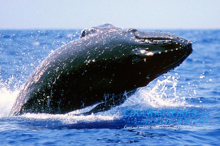 humpback whale calf breaching, .Megaptera novaeangliae, .Hawaii (Pacific).