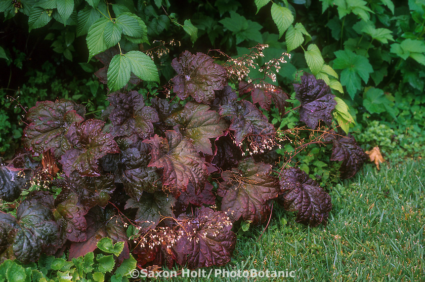 Heuchera micrantha 'Palace Purple' (Coral Bells), dark foliage in garden border