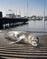 A Hawaiian monk seal (Monachus schauinslandi) basking on a boat ramp, Honokohau Harbor, Kona Coast, Big Island