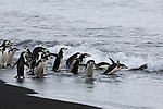 Chinstrap penguins enter the ocean on Deception Island, Antarctic Peninsula.