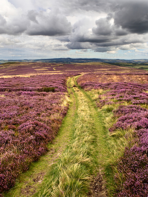 Track over Heather Moorland near Wooler Northumberland National Park England