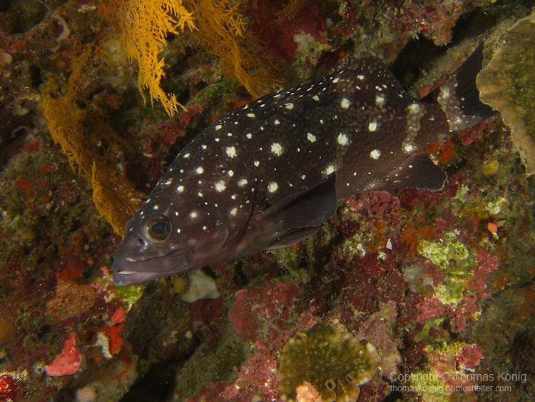 Apo Reef, Sulu Sea --Whitespotted grouper on a sea wall.