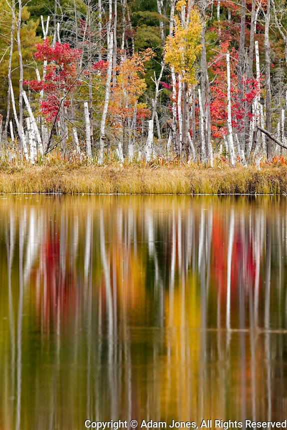 Birch trees and autumn colors reflected on Red Jack Lake, Hiawatha National Forest, Upper Peninsula of Michigan.