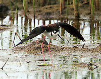 Adult black-necked stilt flapping wings and calling