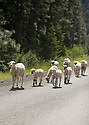 A flock of sheep and lambs walk down a paved road in the mountains. Stock photography by Olympic Photo Group