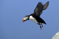 Atlantic Puffin in Flight  #P15