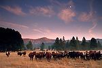 Moonrise and clouds at sunset over herd of cattle in Burch Meadow, Sierra Foothills, Tuolumne County, California