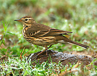 Adult non-breeding American pipit
