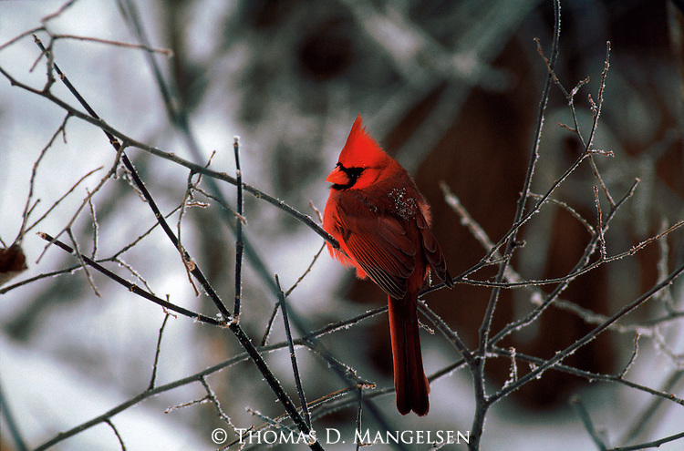 Male cardinal perching on a branch in Nebraska.