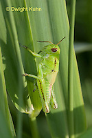 OR01-500z  Two-striped Grasshopper nymph, Melanoplus bivittatus