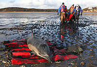 An International Fund for Animal Welfare (IFAW) team carries a stranded common dolphin to a waiting vehicle while another waits to be rescued at Herring River in Wellfleet, MA.