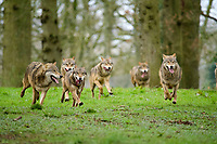 BNPS.co.uk (01202 558833)<br /> Pic: CalebHall/Longleat/BNPS<br /> <br /> A wolf pack keen to be on camera. <br /> <br /> Longleat Safari Park has been showing the public what they've been missing during the lockdown by releasing a candid collection of pictures of their famous collection of big cats.<br /> <br /> The Wiltshire park is currently closed to the public due to COVID-19 but has been giving animal lovers an insight into the animals.<br /> <br /> They have snapped the iconic lions in a number of spots around their enclosure as well as a series of photographs of their tigers.