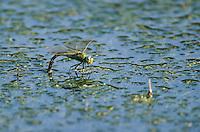 Große Königslibelle, Grosse Königs-Libelle, Weibchen bei der Eiablage, legt Eier, Anax imperator, Emperor Dragonfly, L´Anax empereur, Edellibelle, Aeshnidae, Edellibellen, Aeschnidae, hawkers, darners