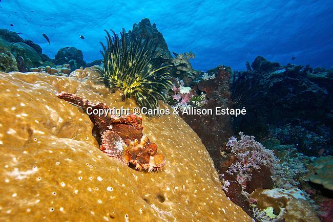 Scorpaenopsis possi, Poss's Scorpionfish, Indonesia Scorpaenopsis possi, Poss's Scorpionfish, Indonesia
