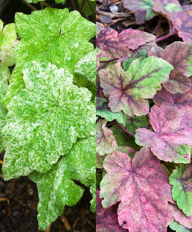 Tiarella Mystic Mist in two stages of foliage leaf color, composite picture . Foamflower