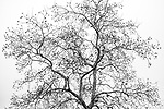 Brazoria County, Damon, Texas; a leafless, pecan tree in winter against an overcast sky