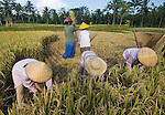 Balinese women harvest rice