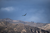 Colca Canyon, Peru. Condor soaring over the mountains.