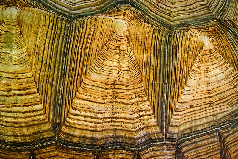 Close up of giant tortoise shell. Maukauwahu Cove Preserve, Kauai, Hawaii